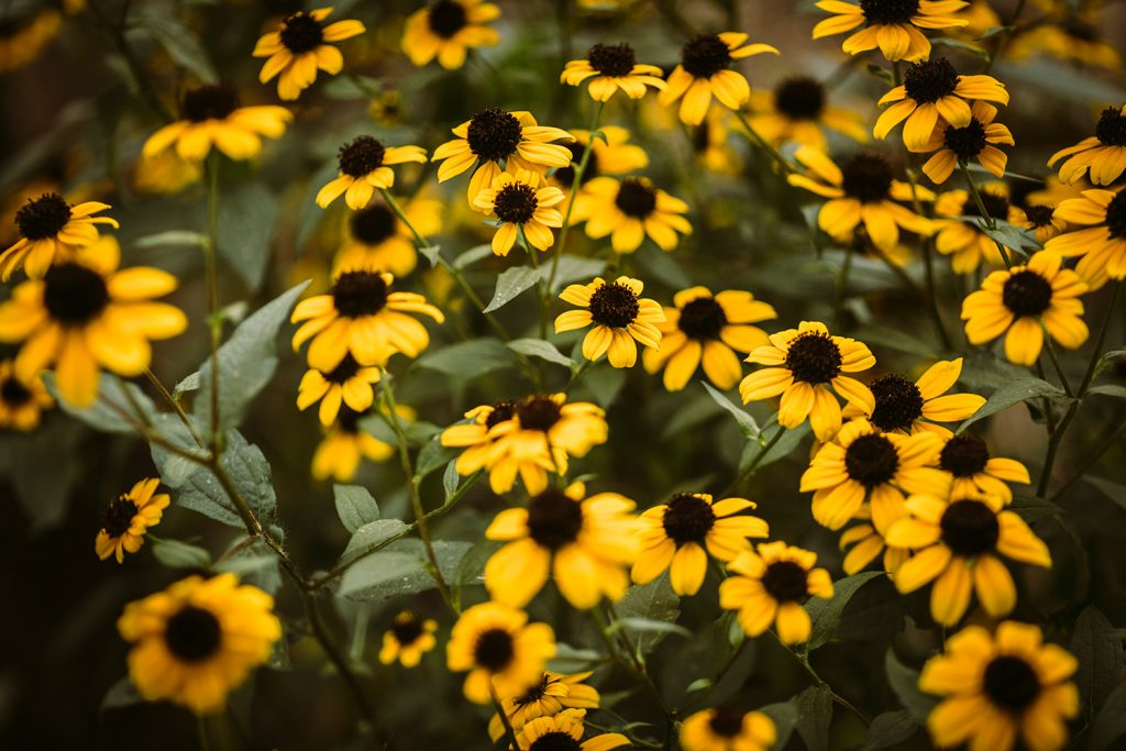 black-eyed-susan-1_3600