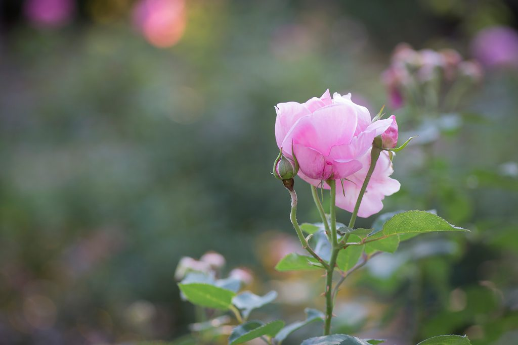 pink-rose-bud-soft_3600
